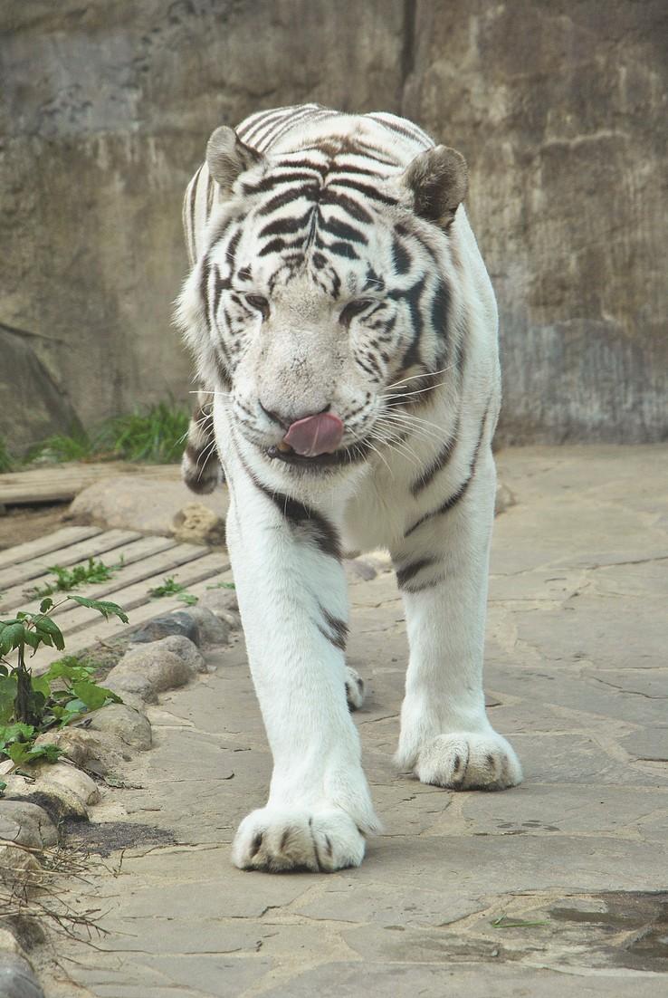 презентация о белом тигре
